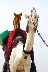 White Tuareg camel looking forward