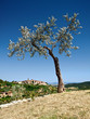 Ancient olive ..Ancient olive ..