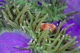 Skunk anemonefish in his colorful host sea anemone. poster