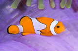 Clown anemonefish in his colorful host sea anemone. poster