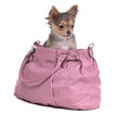 Chihuahua puppy sitting in pink bag isolate on white.  В лайтбоксе.