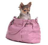 Companion chihuahua puppy travels sitting inside the pink bag poster