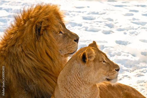 Lion couple lying in the snow