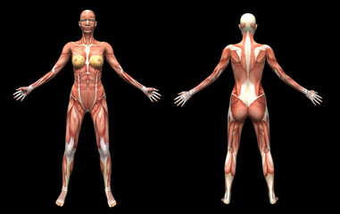 3D render human anatomy  muscles female