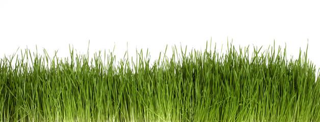 Gras frontal vor weißem Hintergrund
