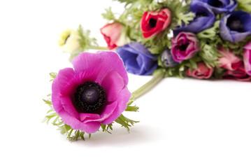 Anemone lilla