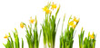 lent lily