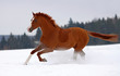 Chestnut horse gallop on snow