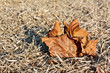 Fallen leaf on dry grass