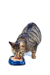 hungry cat eating from the food bowl