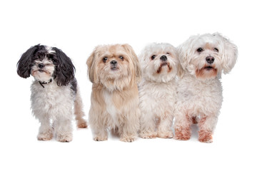 a shih tzu, two maltese dogs and a mix