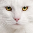 Close-up of Maine Coon cat, 3 years old