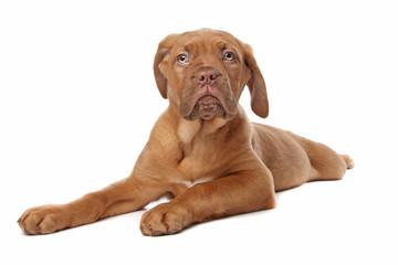 Dogue de Bordeaux, Bordeaux Mastiff