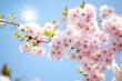Fototapeten,frühling,kirmesattraktion,sonne,kirschbaumblüten