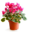 Blossoming plant of cyclamen in flowerpot isolated on white.