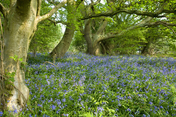 Bluebell Flowers and Beech Woodland