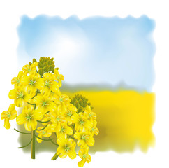 Rape flower on a background field.