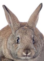 Nice brown bunny