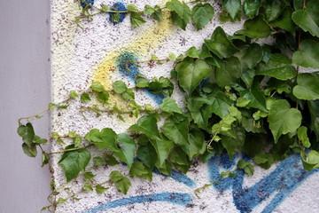edera su muro con graffiti