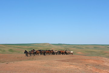 Horse herd grazing on the steppe red clay hills