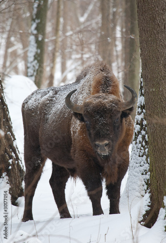 Deurstickers Bison European bison bull in winter