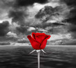 Red rose sea and sky