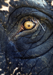 Asian elephant eye detail