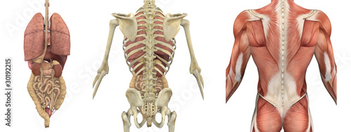 Anatomical Overlays of the Torso - Backside