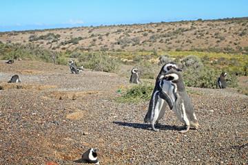 Penguins in Punto Tombo, argentinian Patagonia.