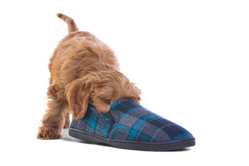 Puppy playing with slipper