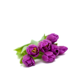 purple tulips with droplets and empty space for your text