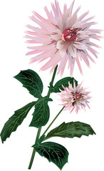 isolated pink dahlia illustration