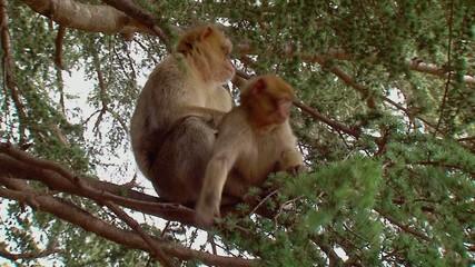Scimmie - Macaca - Sull'albero