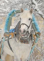 Winter portrait of a gray horse in sledge