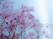Thalictrum aquilegifolium against a blue sky