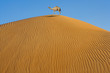 Kamel auf einer Wüstendüne