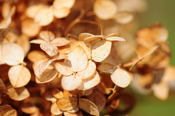 dried viburnum leaves as a background