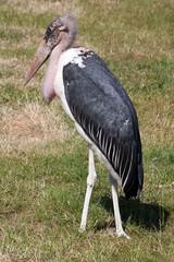 Marabou stork 4749