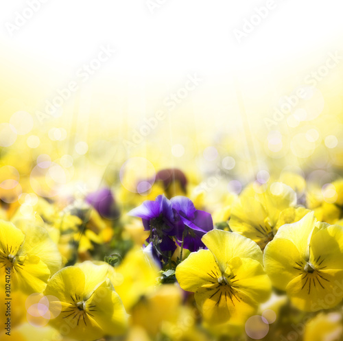 art spring background with flowering pansies