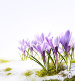 Fototapety Art crocus flowers in the snow Thaw