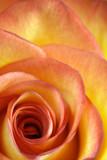 Orange and yellow rose macro