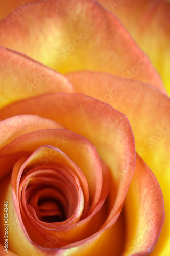Orange and yellow rose macro