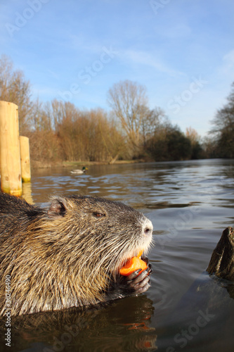 hungry nutria eating carrot