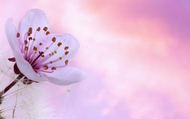 FLor de ciruelo y dandelion