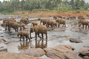 Elephants Bathing at the Elephant Orphanage in Sri Lanka