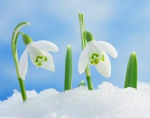 Snowdrops in snow