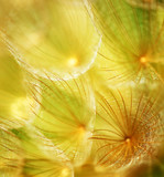 Soft dandelion flower