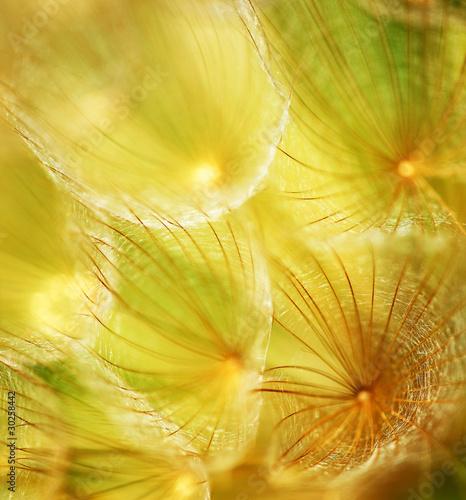 Fotobehang Paardebloem Soft dandelion flower