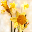 Yellow daffodils close up in romantic background