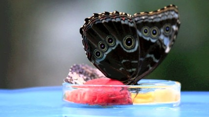 Butterfly II Video Full HD